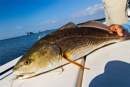 texas-redfish